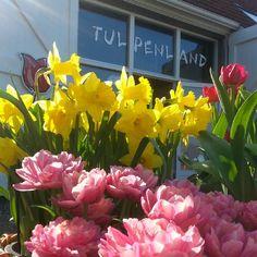 Fluwel'sTulpenland - Getting ready for the next season!  #FluwelsTulpenland #tulip #tulipBritt #tulipAyerRock #narcissusMarieke #spring #nofilter #Fluwel.de www.fluwelstulpenland.de