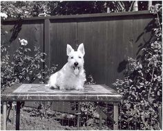 Scottish Terrier Show Dog Vintage Photograph Signed 8x10 | eBay