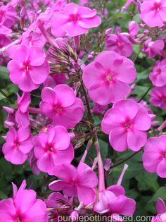 Garden phlox in pink, www.purplepottingshed.com