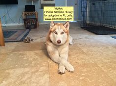 #Florida #Siberian #Husky #Rescue has #beautiful #dogs for #adoption in #FL only: www.siberrescue.com