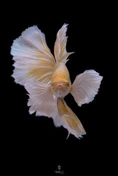 Betta Fish by RealNoi Chunhavareekul Pretty Fish, Beautiful Fish, Colorful Fish, Tropical Fish, Beautiful Creatures, Animals Beautiful, Koi, Betta Fish Types, Deep Sea Creatures