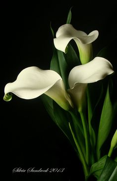...your faith should not be in the wisdom of men but in the power of God. [1 Corinthians 2:5] (Calla Lily)