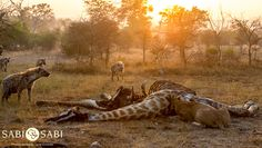 After feeding on the giraffe carcass for the night, the Charleston's had to defend their meal against a clan of 14 hyenas. Private Games, Game Reserve, Hyena, Charleston, South Africa, Giraffe, Safari, Meal, Adventure