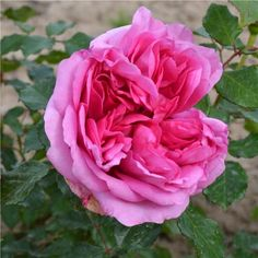 "mon rosier ""alain souchon""   just because   pinterest   dahlia"