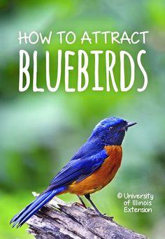 How to Attract Bluebirds garden Bird House Plans, Bird House Kits, Bird House Feeder, Bird Feeder, Finch Feeders, Pergola, Bird Aviary, Birds And The Bees, How To Attract Birds