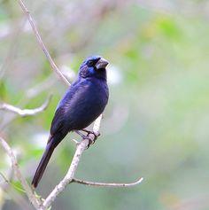 Foto azulão (Cyanoloxia brissonii) por Sergio Murilo | Wiki Aves - A Enciclopédia das Aves do Brasil