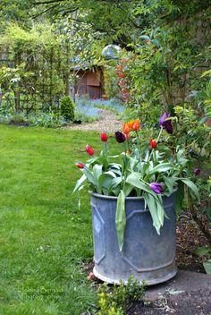 Galvanized tub with tulips