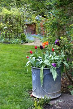 Galvanized tub with tulips