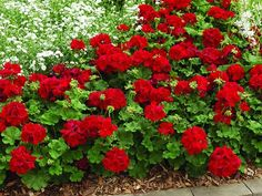 Red Geraniums hold such wonderful memories for me, even though in the language of flowers it means stupidity and folly--for me the recall the hospital in Germany where I birthed our first baby. Outside my room was a balcony full of red geraniums. Geranium Planters, Geraniums Garden, Ivy Geraniums, Geranium Flower, Overwintering Geraniums, Geranium Care, Geranium Dress, Hardy Geranium, Geranium Oil