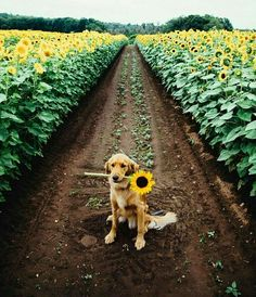 a beautiful golden // golden // retriever // dog // puppy // sunflower // field // cute // animals // flowers // Animals And Pets, Baby Animals, Funny Animals, Cute Animals, Nature Animals, Cute Puppies, Cute Dogs, Dogs And Puppies, Doggies