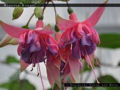 SHORT DESCRIPTION MORE Tube color : Sepal color : rose, tips green Corolla color : lilac pink Flower : semidouble Habitus : upright Parentage : X CATEGORIES: AUSTRALIA, LOCKERBIE RONALD L. TAG: PICTURE SHARE: