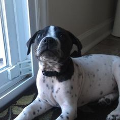 """Frankie the pup is looking for his forever home. He's in Jacksonville, NC. Who can say """"no"""" to those eyes...oh, and the spots!"""