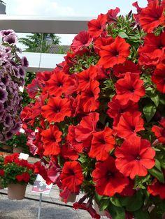 Petunia 'Hot Rod Red'