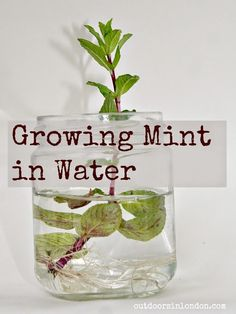 How to grow mint in water ... a fun experiment for kids ...