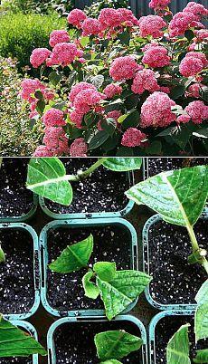Размножение гортензии - пять основных способа   Мой сад, огород. Копилка дачного опыта.