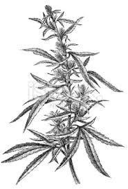 Google Image Result for http://i.istockimg.com/file_thumbview_approve/12153553/2/stock-photo-12153553-marijuana-plant.jpg