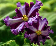 African Violet ~~  Chimera BT-Syn Faraona  ~~ plant Russian / Ukrainian Variety!