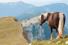 Vous l'aurez bien sûr reconnu, l'incontournable cheval Comtois, ici au Reculet (© Montagnes du Jura - Fabien Gréban)