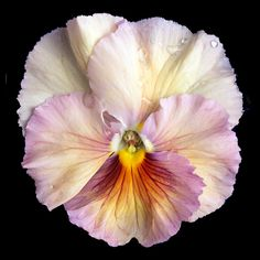 Pansy. Photo by Richard Reynolds