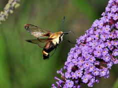 Hummingbird moth checking out the butterfly bush.