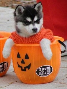 dog puppy halloween puppy pumpkin jack o lantern trick or treat all hallows eve syberian husky husky autumn fall happy fall Halloween Puppy, Pet Halloween Costumes, Pet Costumes, Happy Halloween, Halloween Candy, Halloween Pics, Halloween Games, Halloween Birthday, Halloween Pumpkins