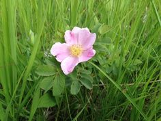 Wild Rose (rosa woodsii): Wild Roses are found in open woods, prairies and grasslands, bluffs, near river banks, and road sides. To find one with rose hips still intact in spring isn't common. They are a favorite wildlife food!
