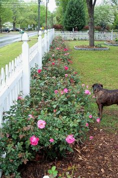 Knock out Rose Hedge 28 vegetables that grow partially shaded Full Sun Perennials, Flowers Perennials, Outdoor Landscaping, Front Yard Landscaping, Beautiful Roses, Beautiful Gardens, Rose Hedge, Specimen Trees, Shrub Roses