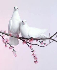 White doves.  What a perfect moment to capture 2 doves on a cherry blossom branch...