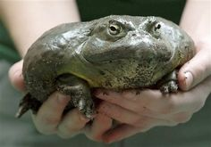 Germany Zoo   A zookeeper prepares an African bullfrog (Pyxicephalus adspersus) for weighing during the annual stocktaking the Dresden zoo, eastern Germany, Wednesday, Jan. 9, 2013. During the annual inventory the animals are counted, measured and put on the scales. (AP Photo/Jens Meyer) ....YIKES