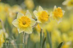 Daffodils by filsaahd. @go4fotos