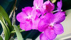 Vanda (orchidée)
