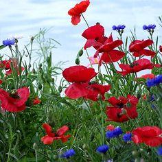 Red Poppy Seeds, Papaver rhoeas - Wildflower Seed from American Meadows