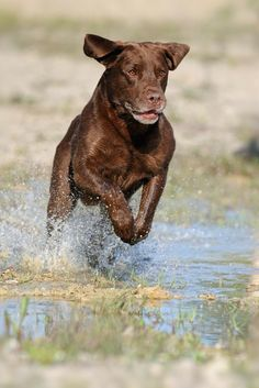 The Labrador Retriever doing what he was bred for. Retrieving the ducks. Chocolate Labrador Retriever, Labrador Retrievers, Labrador Dogs, Retriever Puppies, Golden Retrievers, Hunting Dogs, Duck Hunting, Tier Fotos, Lab Puppies