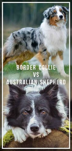 Border Collie Vs Australian Shepherd Border Collie Vs Australian Shepherd Source by The post Border Collie Vs Australian Shepherd appeared first on Coulson Puppies. Border Collie Tricolor, Red Merle Border Collie, Border Collie Facts, Perros Border Collie, Border Collie Puppies, Collie Dog, Australian Border Collie, Border Collie Humor, Border Collie Training