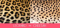 leopard vs cheetah...I can't believe it took me this long to question which was which