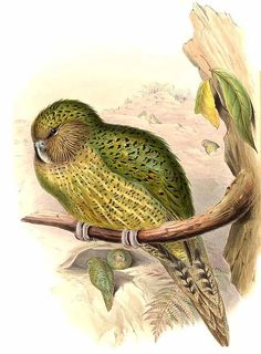 While a flightless bird, the kakapo is known to climb trees. Its a bird that forgets it cannot fly. Bird Illustration, Botanical Illustration, Kakapo Parrot, Art Periods, Flightless Bird, Bird Drawings, Bird Species, Science And Nature, Bird Art