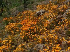 California Poppies are native in most of California, Here the poppy is filling in an opening in the chaparral.                                                                                         - grid24_12