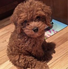 Teddy Bear or Puppy? : aww More Teddy Bear or Puppy? : aww & Source by The post Teddy Bear or Puppy? : aww & appeared first on Welch Puppies. Teddy Bear Poodle, Toy Poodle Puppies, Teddy Bear Puppies, Cute Puppies, Cute Dogs, Dogs And Puppies, Doggies, Tiny Toy Poodle, Spaniel Puppies