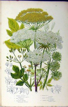 View top quality illustrations of Angelica Fennel Parsnip Victorian Botanical Illustration. Find premium, high-resolution illustrative art at Getty Images. Vintage Botanical Prints, Botanical Drawings, Nature Illustration, Botanical Illustration, Botanical Flowers, Botanical Art, Art Floral, Illustration Botanique, Nature Prints