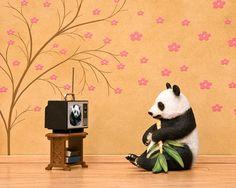 panda print, black and white, blossoms, diorama, warm tone - Panda Planet 8 x 10 by Jeff    This makes me LOL...