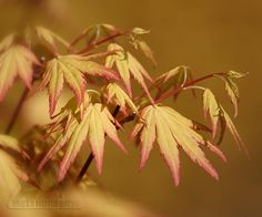 Acer palmatum 'Orange Dream' is one of the earliest to push new growth in my garden. Its beautiful color is stunning while many other plants remain asleep at winter's end. Flowering Shrubs, Trees And Shrubs, Shade Garden, Garden Plants, Acer Palmatum, Japanese Maple, New Growth, Tsunami, Hydrangea