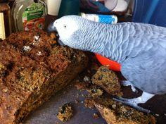 Graupapagei Max liebt das Papageienbrot, © Ann Castro, www.DieVogelschule.com