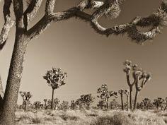 California, Joshua Tree National Park, Joshua Trees, USA Photographic Print at AllPosters.com