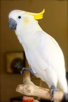 Paris - loves her Java Tree  Sulphur Crested Cockatoo - 4 yrs old