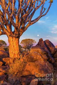 Quiver Trees 8 by Inge Johnsson Tree Forest, Quiver, The World's Greatest, Where To Go, Monument Valley, Fine Art America, Africa, Nature, Cactus