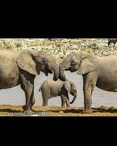 I love them great photo. .!! From : @pete_dobre - Family no matter what form it takes is the most fundamental aspect of life that we all desire and cherish because family is our sense of belonging ! . . . For info about promoting your elephant art or crafts send me a direct message @elephant.gifts or email elephantgifts@outlook.com . Follow @elephant.gifts for beautiful and inspiring elephant images and videos every day! . #elephant #elephants #elephantlove