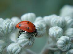 - Ladybug -
