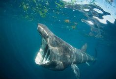 Come and see basking sharks while diving in Cornwall, off the Lizard. they don't eat meat !