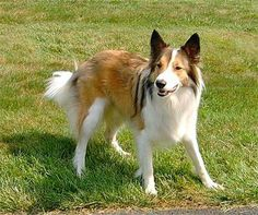 scotch collie dog photo | Scotch Collie, also known as Farm Collie or Old Farm Collie is ...