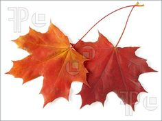 Google Image Result for http://www.featurepics.com/FI/Thumb300/20091012/Two-Maple-Leaves-1348784.jpg